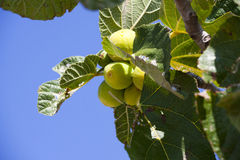Unripe figs on the tree in southern France Royalty Free Stock Images