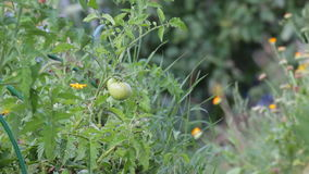 Unripe fruit of tomatoes stock video