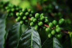 Unripe fruits of the coffe tree. Coffee plantations in Quindio - Buenavista royalty free stock photo