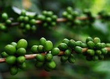 Unripe fruits of the coffe tree. Coffee plantations in Quindio - Buenavista stock photo
