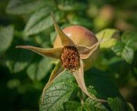 Unripe fruits of dog-rose. Stock Photo
