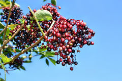 Unripe fruits of elderberry Royalty Free Stock Image