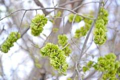 Unripe fruits of an elm stocky Ulmus pumila L. Stock Photo