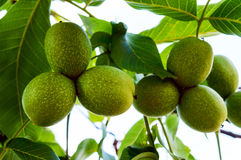 Unripe fruits of walnut growing on branches. Royalty Free Stock Photo