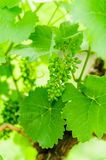 Unripe grape cluster Royalty Free Stock Images