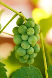 Unripe grape cluster Stock Photo