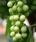 Unripe Grape, green Royalty Free Stock Photo
