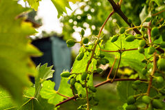 Unripe grape. With leafs and branches Stock Images