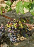 Unripe grapes. And grapevine leaf royalty free stock images