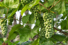 Unripe grapes Royalty Free Stock Photo