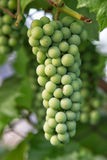Unripe grapes Stock Photo