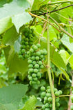 Unripe grapes Stock Photos