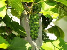 Unripe grapes 5 Stock Photography
