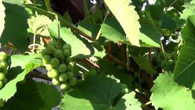 Unripe grapes on a branch stock video