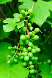 Unripe grapes Royalty Free Stock Image