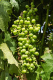 Unripe Grapes Stock Images
