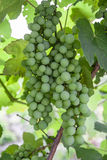 Unripe grapes Stock Photography