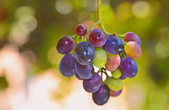 Unripe grapes. Bunches of young unripe grapes on the vine in garden royalty free stock photo