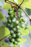 Unripe Grapes Royalty Free Stock Photos