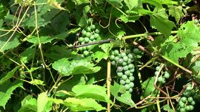 Unripe grapes clusters and leaves background in wind. Unripe grapes clusters and leaves background in summer wind motion stock video