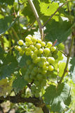 Unripe grapes Stock Image