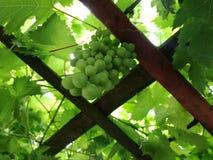 Unripe grapes green wallpaper royalty free stock image