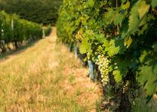 Unripe grapes Stock Photos