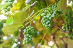 Unripe grapes in july on a hot summer day stock images