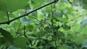 Unripe grapes stock footage