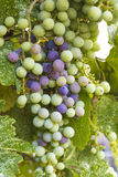 Unripe grapes with rain drops Stock Photos