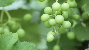 Unripe grapes summer stock video footage