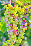 Unripe grapes. In summer time stock photo