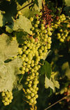 Unripe Grapes on Vine Royalty Free Stock Photos