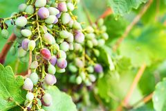 Unripe grapes and vine leaves close up Stock Image