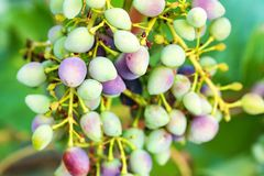 Unripe grapes and vine leaves close up Royalty Free Stock Photos