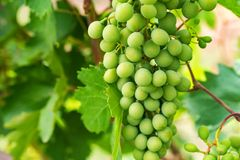 Unripe grapes and vine leaves close up Royalty Free Stock Photo