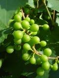 Unripe grapes on vine. In the sunlight in june Stock Image