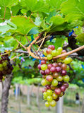 Unripe grapes in a vineyard Royalty Free Stock Image