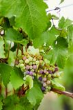Unripe grapes in the vineyard royalty free stock images