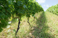 Unripe grapes in  vineyard summer day Royalty Free Stock Photos