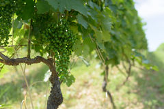 Unripe grapes in  vineyard summer day Stock Photo