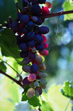 Unripe grapes. In the wine yard Stock Photography