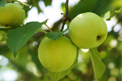 Unripe green apple Royalty Free Stock Photos