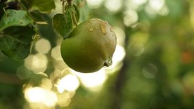 Unripe green apple hanging on an apple tree branch after the rain. Golden hour. Closeup shot stock video footage
