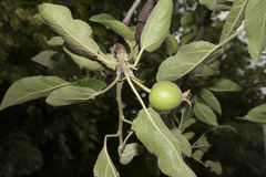 Unripe green apple Stock Photography