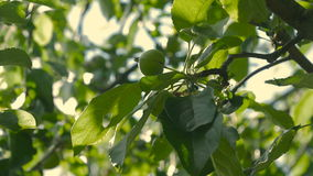 Unripe green apples hanging on an apple tree. Unripe green apples hanging on an apple tree branch stock footage