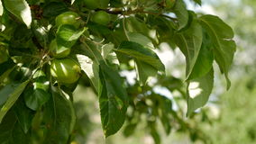Unripe green apples hanging on an apple tree. stock footage