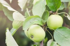 Unripe green apples on a tree branch on a summer sunny day royalty free stock image