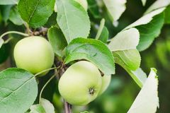 Unripe green apples on a tree branch on a summer sunny day royalty free stock images