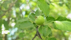 Unripe green apples on a tree branch sways in the wind. Closeup shot. Unripe green apples on a tree branch sways in the wind. Organic orchard. Closeup shot stock video